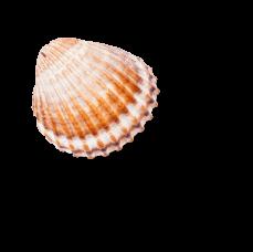 Sea Shell Graphics